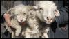 Προβατίνα Στην Κίνα Γέννησε Κουταβάκι