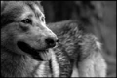 Το Παραμύθι της Κοκκινοσκουφίτσας Απο Την Πλευρά του Λύκου